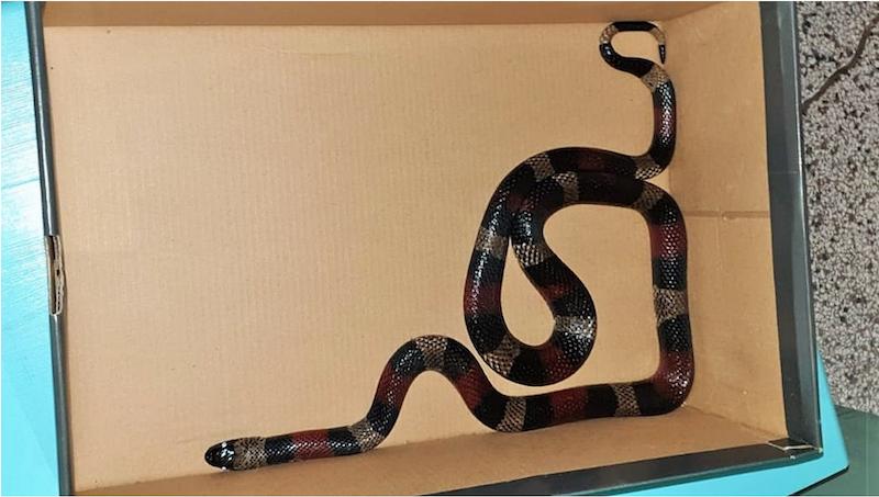 Nz. lancetogłów mleczny zwany też wężem królewskim, który znaleziony został na klatce schodowej. Ten gatunek węża jest niegroźny dla człowieka. Właściciel gada nie odnalazł się