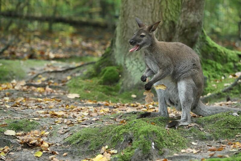 Walabia Benetta znany także jako kangur rdzawoszyi