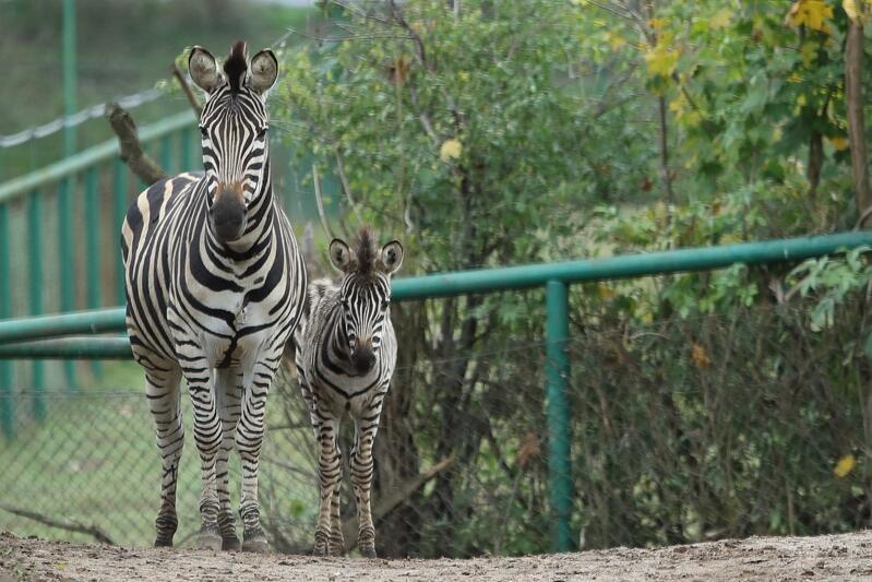 Młoda zebra z matką