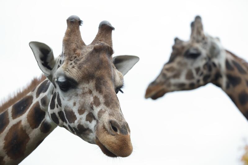 Na pierwszym planie młody samiec żyrafy