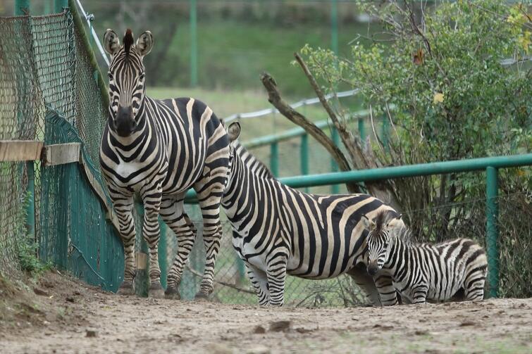 Zebra Chapmana urodziła się w gdańskim zoo w sierpniu tego roku. Jej płeć nie jest jeszcze znana