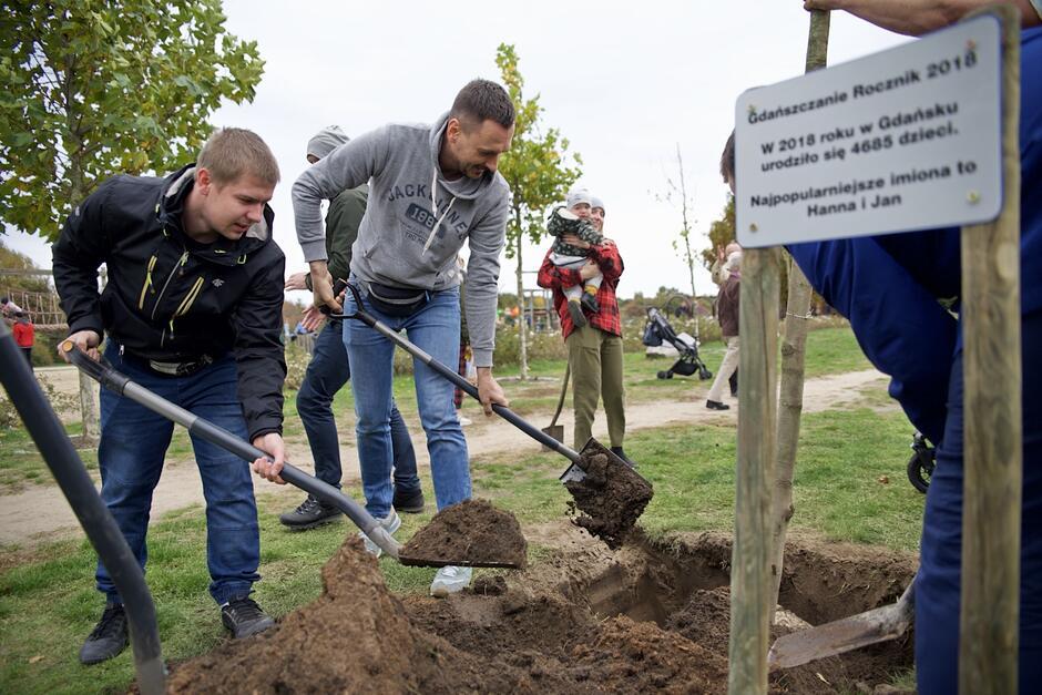 Najpierw unieść drzewko i prosto ustawić, a następnie zakopać ziemią...