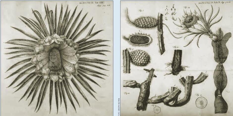 """Rysunki przedstawiające owoc cereusa, opublikowane w tekście Breyna w """"Acta Physico-Medica"""""""
