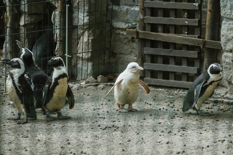 Narodziny białego pingwina to ewenement na skalę światową. Gdańskie ZOO jest prawdopodobnie jedynym ogrodem na świecie, który może pochwalić się albinotycznym osobnikiem