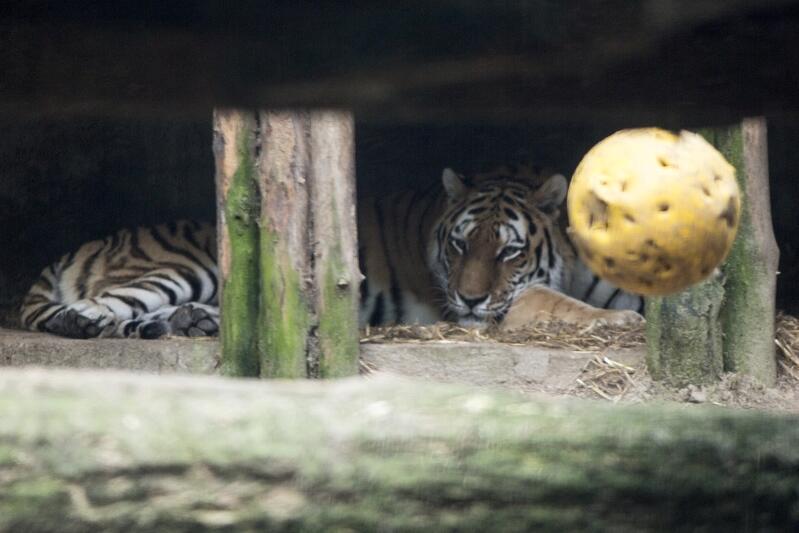 Informacji na temat tygrysów amurskich można zasięgnąć w każdą środę, o godz. 10.00