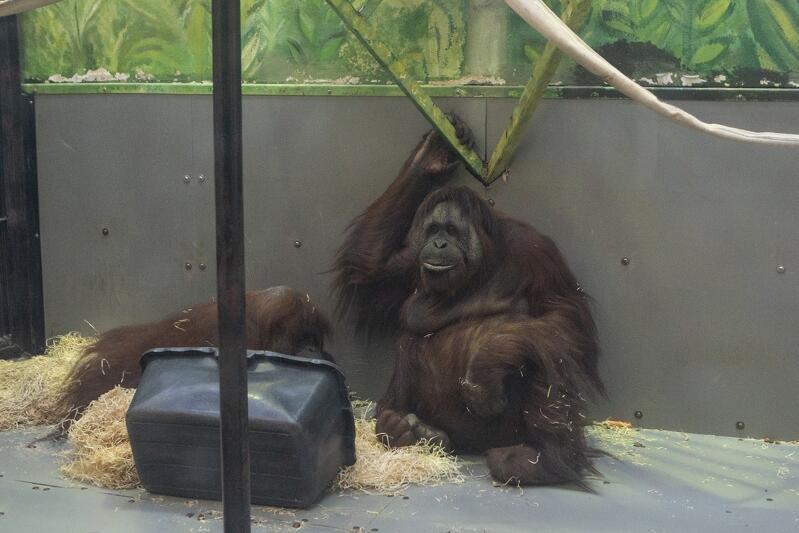 Orangutany lubią podpatrywać swoich opiekunów i szybko się od nich uczą. Reja umie np. zmywać podłogę czy prać ubrania, które dostaje do zabawy