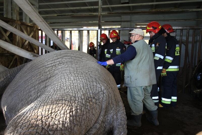 Pracownicy Gdańskiego Zoo i strażacy podczas akcji ratownia Katki