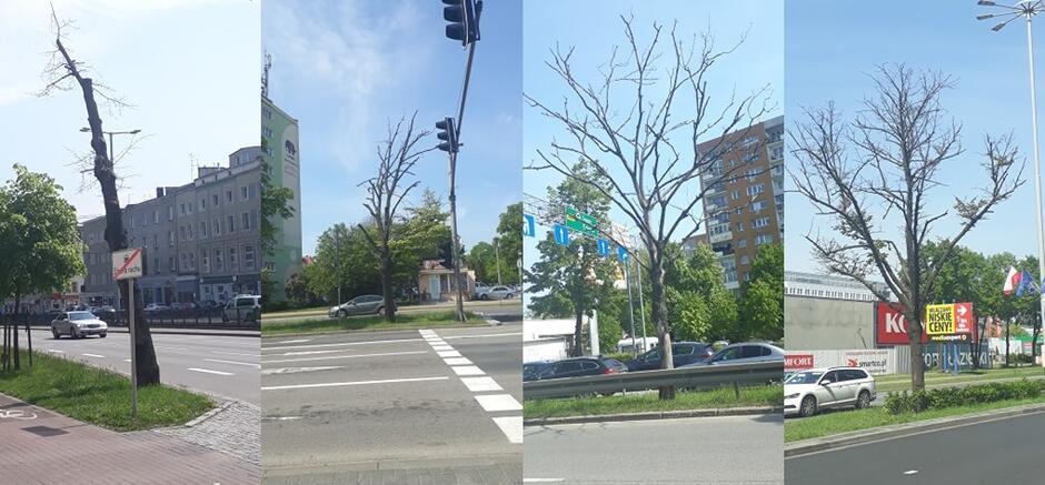 Martwe i zamierające drzewa wzdłuż al. Grunwaldzkiej