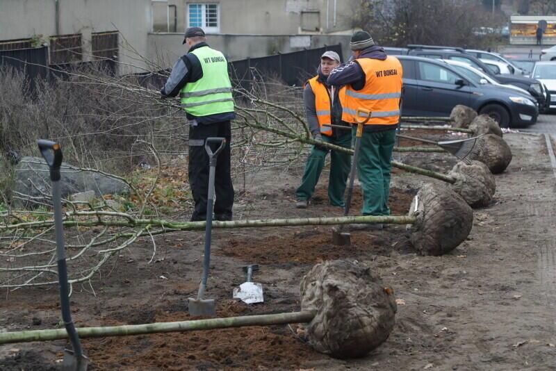 W sezonie jesiennym 2019 r. z budżetu GZDiZ i rad dzielnic posadzono w Gdańsku ok 160 młodych drzew - te przy ul. Czarnieckiego w Górnym Wrzeszczu