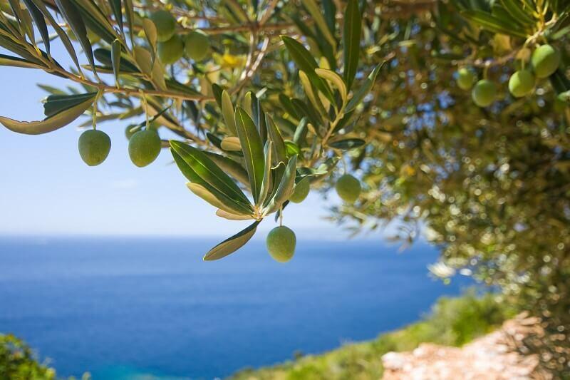 Kalamata to rejon słynący z uprawy drzew oliwnych
