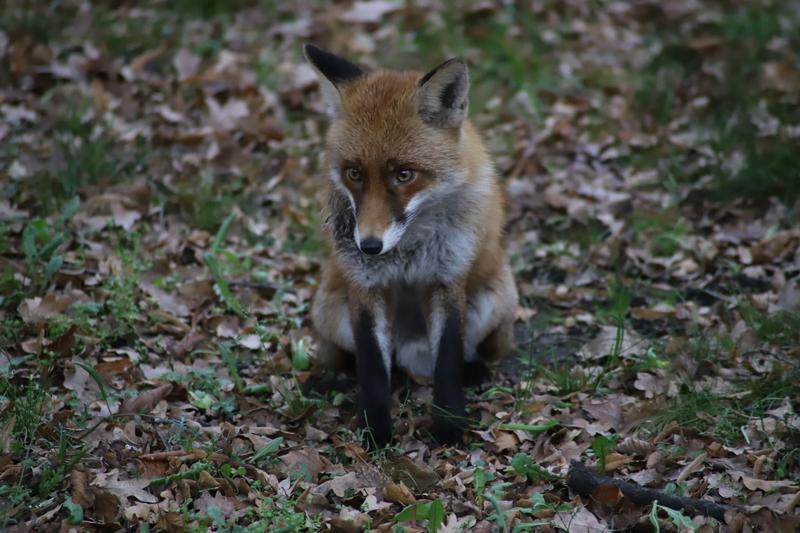Jeśli lisy czy inne dzikie zwierzęta pojawią się w miescie, najlepiej nie zbliżać się do nich, nie straszyć, ewentulanie zawiadomić odpowiednie służby