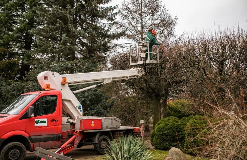 Cięciami oliwskich lip zajmują się wyspecjalizowani ogrodnicy, którzy posiadają odpowiednie uprawnienia do zajmowania się drzewostanem