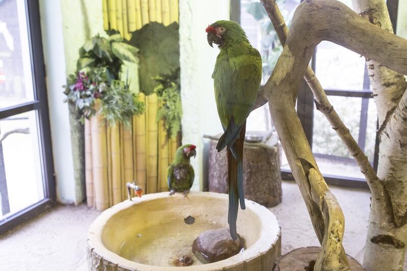 Miłosne zwyczaje ptaków będą omawiane podczas wykładu, który rozpocznie się 15 lutego, o godz. 12. 30 w sali dydaktycznej Gdańskiego Ogrodu Zoologicznego. Nz. Ara zielona