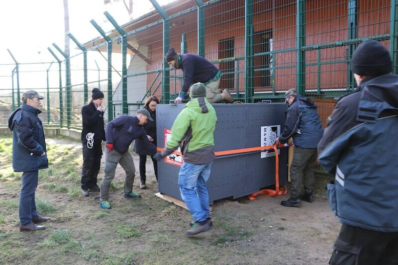 W akcji umieszczenia lwa w transporterze brało udział kilkunastu pracowników zoo. Aramis dotarł do w Niemczech w poniedziałek 24 lutego wieczorem