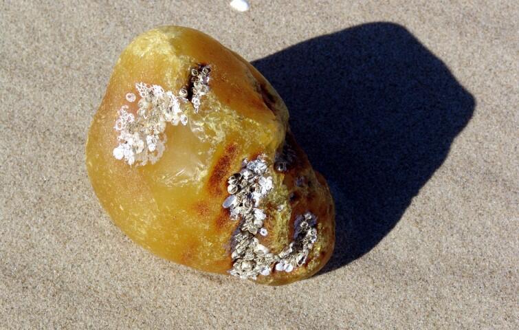 Nasza lokalna odmiana jantaru (to skamieniała żywica drzew iglastych) to bursztyn bałtycki. Liczy sobie ok. 40 milionów lat. Spośród innych żywic wyróżnia się wiekiem, zawartością kwasu bursztynowego (3-8%) oraz wyjątkową urodą. Na zdj: okaz bursztynu wyłowiony przez Sylwestra Maluchę