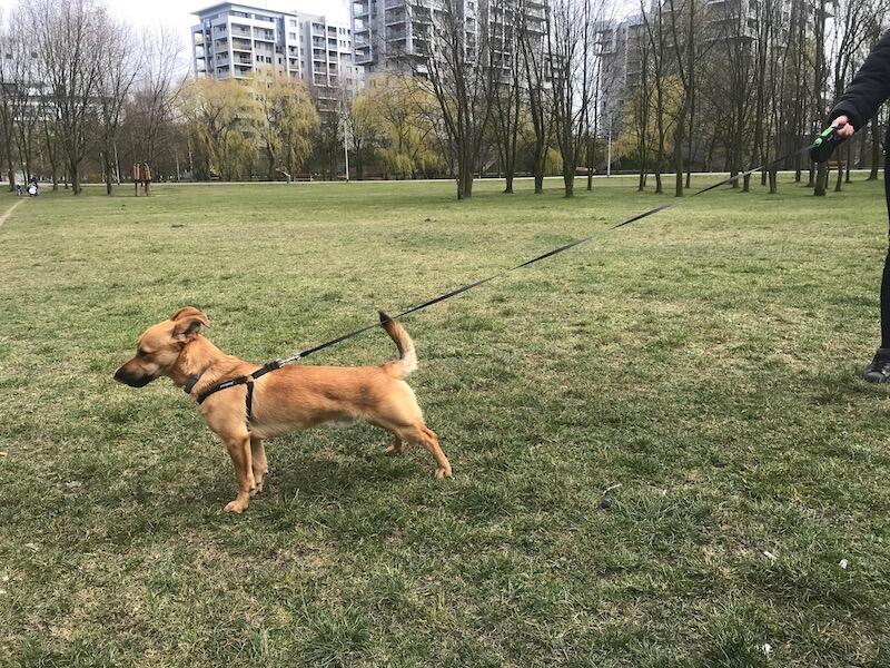 Sami to dziesięciomiesięczny psiak, który krótkie spacery wokół bloku w końcu zamieni na porządne spacery w ulubionym parku