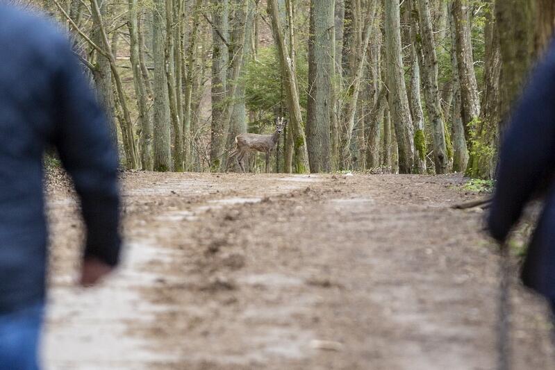 20.04.2020. Lasy Matemblewskie. Przez półtora tygodnia obowiązywał zakaz wstępu lasu. Niegdyś pełne spacerowiczów miejsca ponownie posiadły we władanie zwierzęta. Zdziwiony koziołek (samiec sarny) chyba nie przewidział, ze ludzie znów pojawią się tak szybko