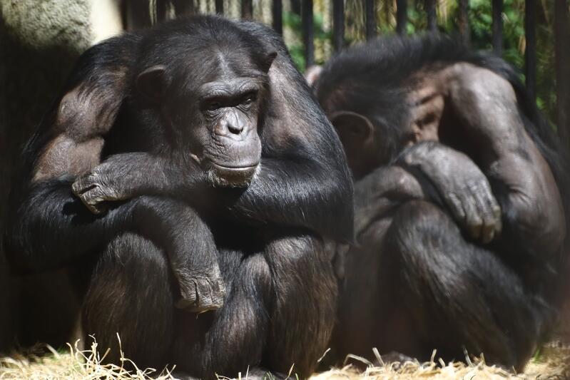 Szympansy lubią prowokować i przedrzeźniać się z ludźmi. Gdy zoo pełne jest gości szukają sposoby na wejście w interakcję. Teraz tego robić nie mogą robić, przez co zdają się być spokojniejsze, a nawet smutne