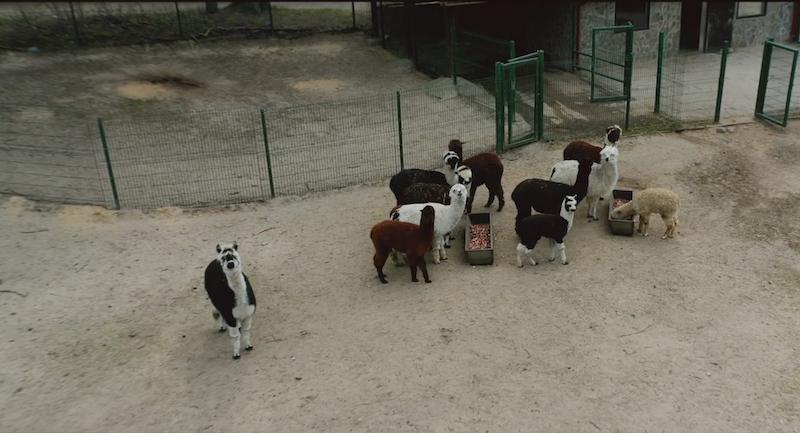 Alpaki były bardzo zainteresowane latającym w pobliżu dronem