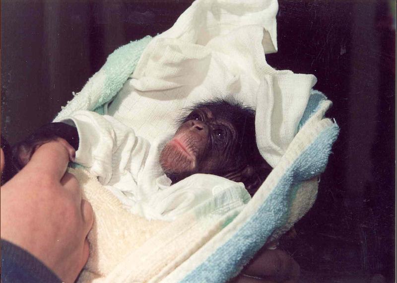 Narodziny szympansa w zoo to ważne wydarzenie, bo w ogrodach zwierzęta te rozmnażają się bardzo rzadko. Liza urodziła się w maju 2001 roku.