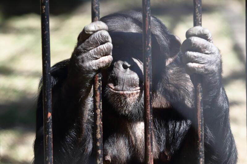 22.04.2020. Szympans w Gdańskim Ogrodzie Zoologicznym oczekuje na zwiedzających