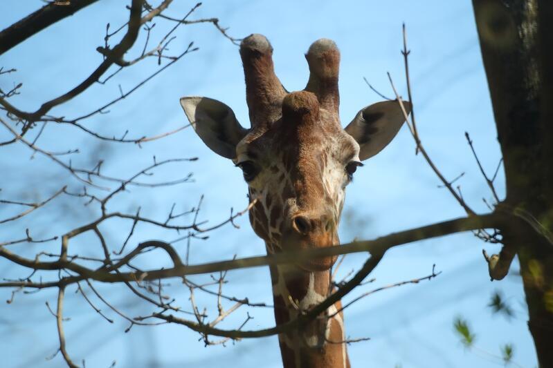 Pawilion z żyrafami jest zamknięty, ale zobaczymy je wybiegu. Gdański Ogród Zoologiczny ponownie jest otwarty dla zwiedzających - codziennie, w godz. 9.00 - 19.00