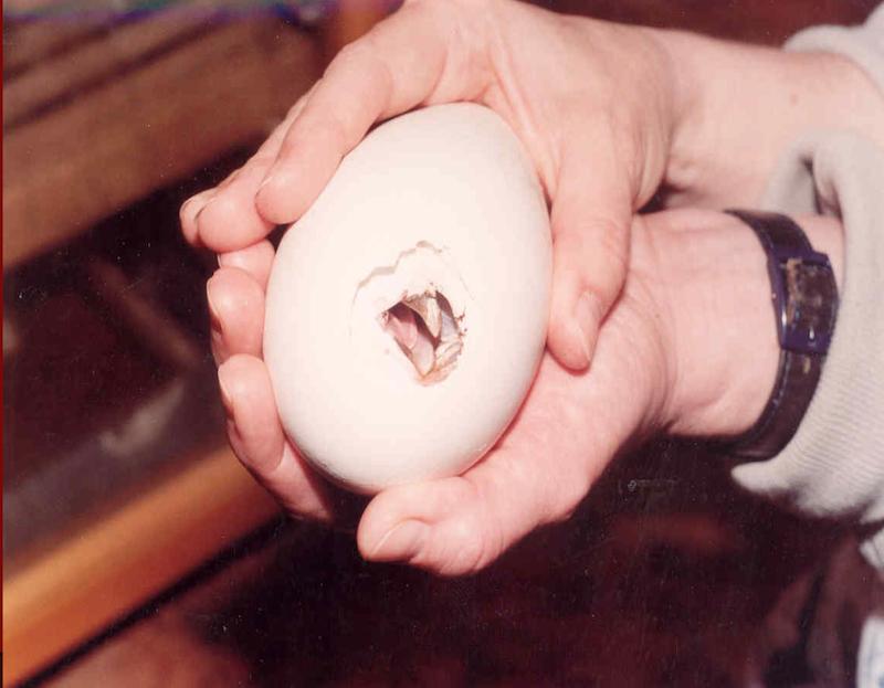 Aby ptak, którzy dojrzewał w jaju umiejscowionym w inkubatorze wykluł się, zazwyczaj potrzebuje do pomocy człowieka