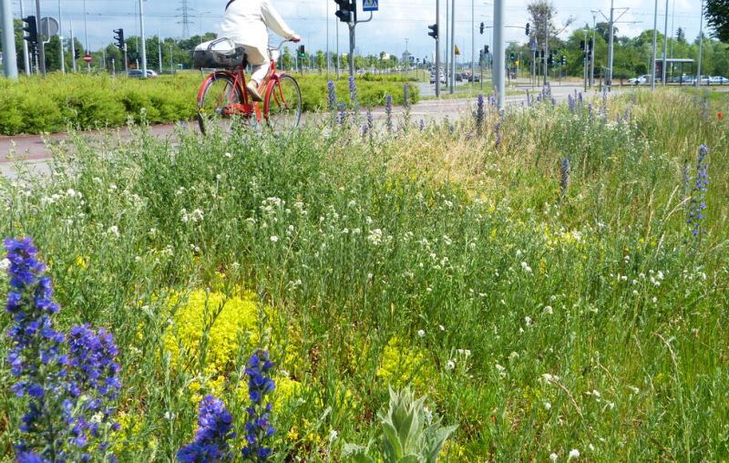 - Pozwólmy przekształcić trawnikom w naturalną miejską łąkę kwietną. Pomoże to w walce z suszą - apelują do mieszkańców władze Gdańska