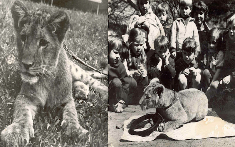 Iga przyjechała do gdańskiego zoo w 1973 roku i natychmiast stała się ulubienicą wszystkich. Jako dorosłe zwierzę nie zmieniła swojego przyjacielskiego nastawienia do człowieka. Lwica przeżyła w naszym zoo 12 lat