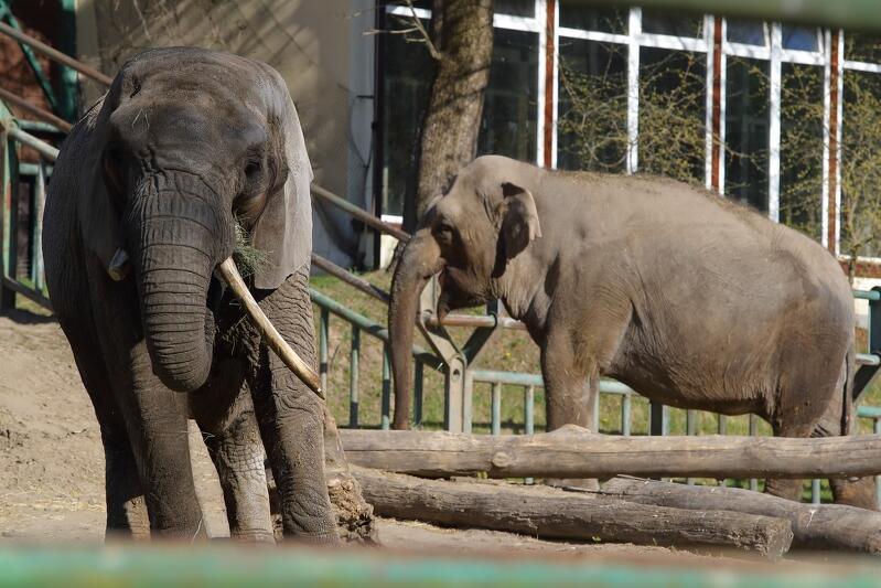 Dobra wiadomość dla wszystkich miłośników Gdańskiego Ogrodu Zoologicznego - od poniedziałku 1 czerwca zoo zwiększa sprzedaż biletów z 500 do 2 tysięcy. Nz. mieszkanki zoo - Katka i Wiki