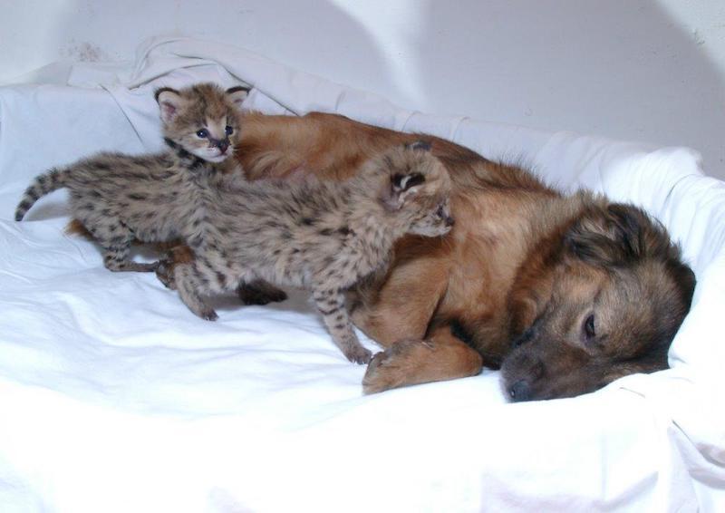 Blisko dwie dekady temu suczka ze schroniska stała się matką zastępczą dwóch małych serwali. Sunia, bo tak miała na imię psia bohaterka, by móc zaopiekować się małymi kociakami, wraz ze swoim szczeniakiem zamieszkała w zoo