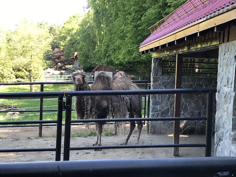 Samica wielbłąda dwugarbnego przyjechała do nas z Litwy. Wszystko wskazuje na to, że dobrze czuje się w nowym domu, bo pięknie zapozowała do zdjęcia