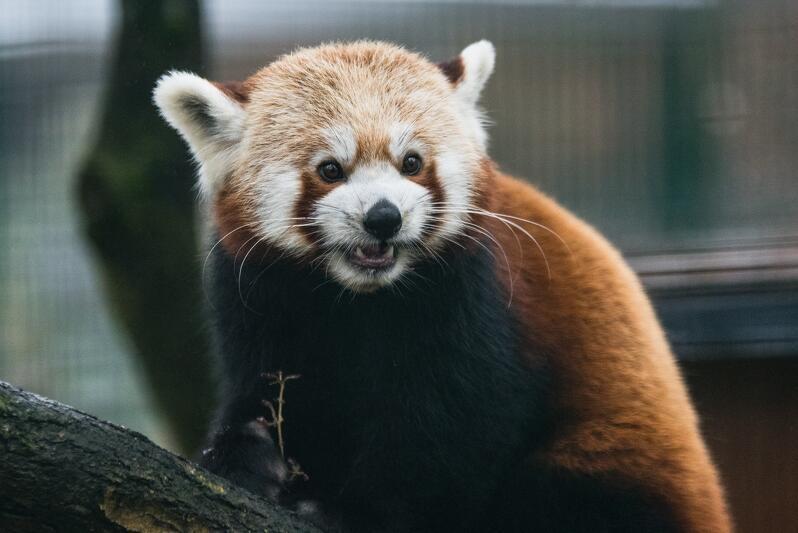 Przyjazd samica pandy małej był zaplanowany od dawna, ale epidemia wydłużyła w czasie te plany. Panda mała - zwana też rudą - ma stworzyć parę z samcem