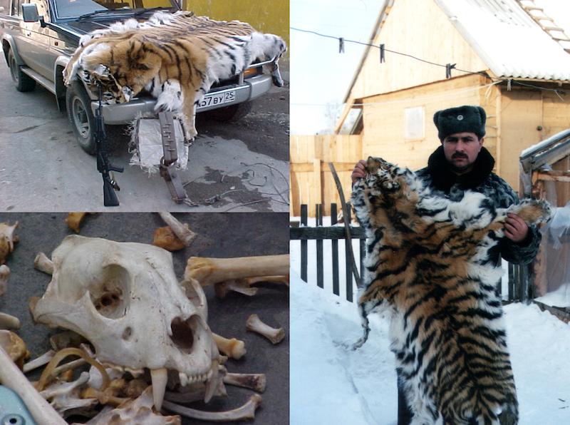 Wiele gatunków tygrysa zagrożonych jest wyginięciem. Handel tymi zwierzętami kwitnie
