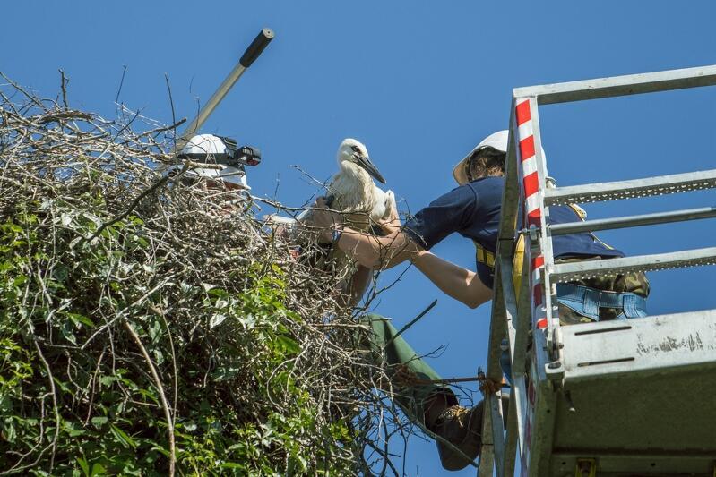Wyciągnie młodych bocianów z gniazda to wydarzenie, któremu zawsze towarzyszy stres pojawiający się nie tylko u ptaków, ale też u pracowników zoo. Dla młodego bociana, który jeszcze nie umie latać, ucieczka z gniazda to pewna śmierć
