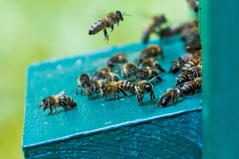 Pszczoły są niezwykle pożytecznymi owadami, hodowanymi już w starożytności. Pełna nazwa łacińska to apis mellifica - pszczoła miodna. Kto ma warunki, może teraz w Gdańsku stawiać ule, ale miód ma być produkowany tylko na własny użytek