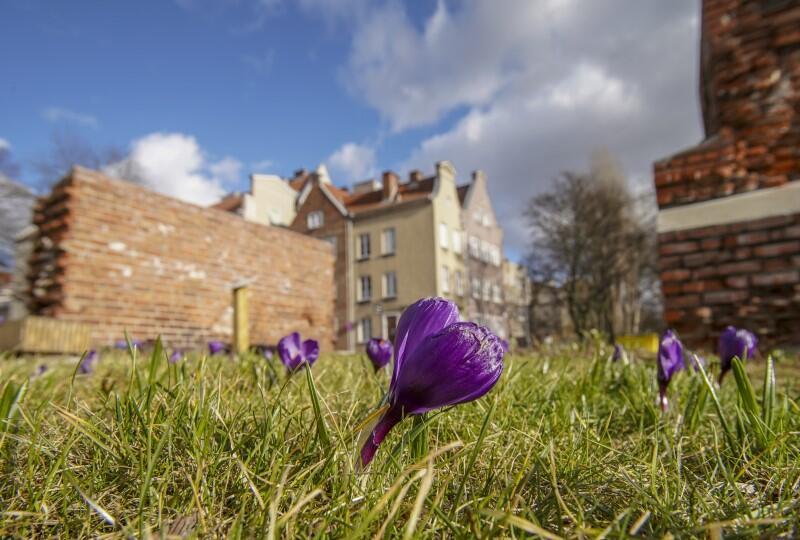 Krokusy rosną na gdańskich łąkach miejskich na ul. Za Murami
