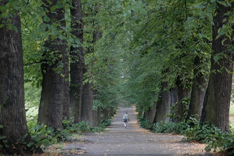 Szpaler drzew w Parku przy ul. Bema w Gdańsku