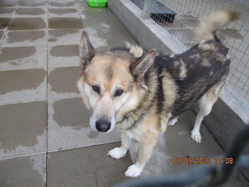 Wilku to jeden z dwudziestu psów, które przyjechały do Gdańska z Radys. Psiak ma 7 lat