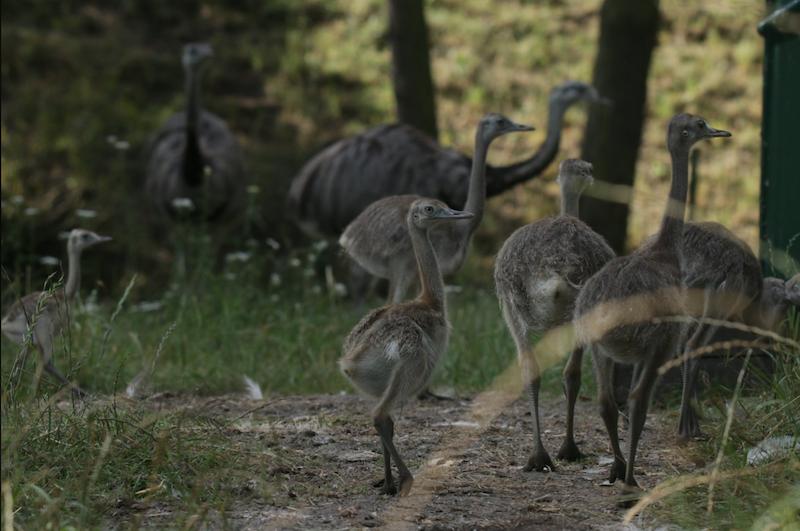 Nandu szare wykluły się w gdańskim zoo w pierwszych dniach sierpnia. Ptaki już podrosły, więc można je przedstawić opinii publicznej