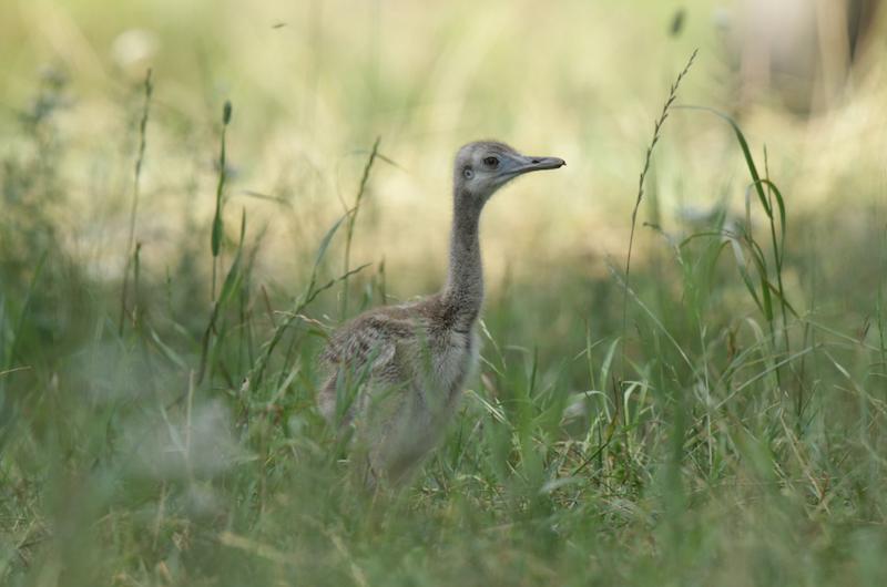 Nandu szare to ptaki nieloty, potrafią jednak bardzo szybko biegać. Osiągają prędkość nawet 60km/h