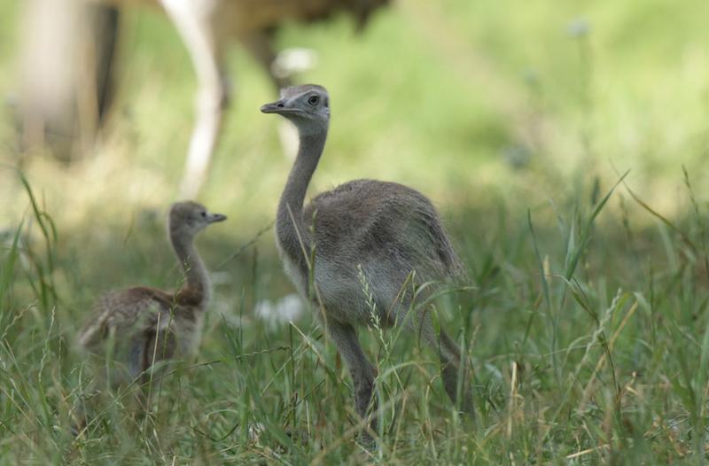 Samiec nandu szarych buduje gniazdo i wysiaduje jaja. Tym razem ptaki zbudowały 3 gniazda w których samice złożyły około 30 jaj z czego wykluło się pięć piskląt