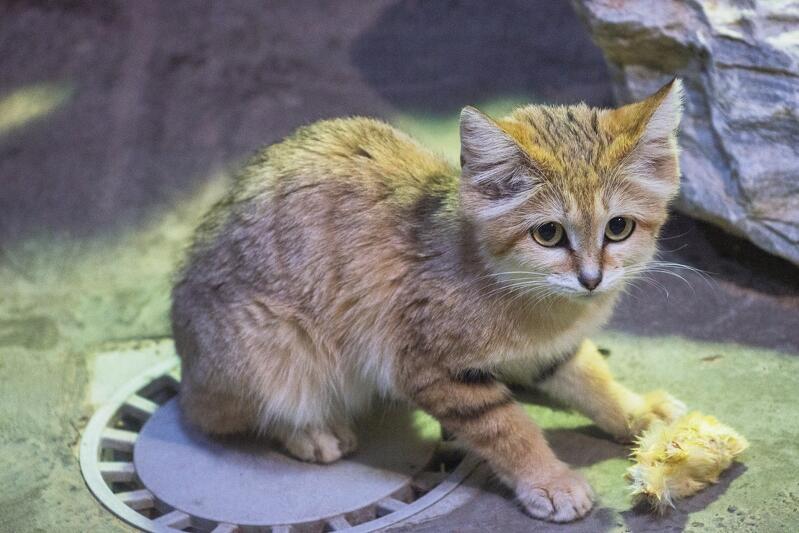 Inne nazwy kota arabskiego to kot pustynny albo kot piaskowy