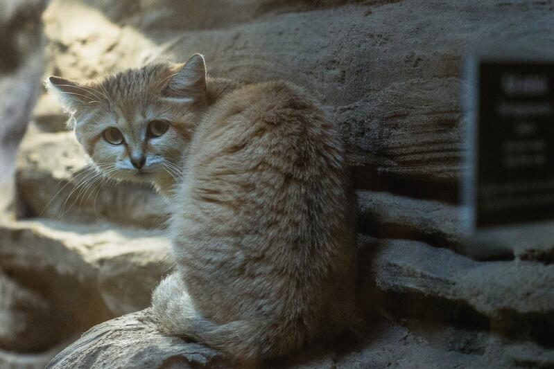 Zakres temperatur w których kot arabski potrafi przetrwać jest imponujący, wynosi od – 5ºC do +52 ºC