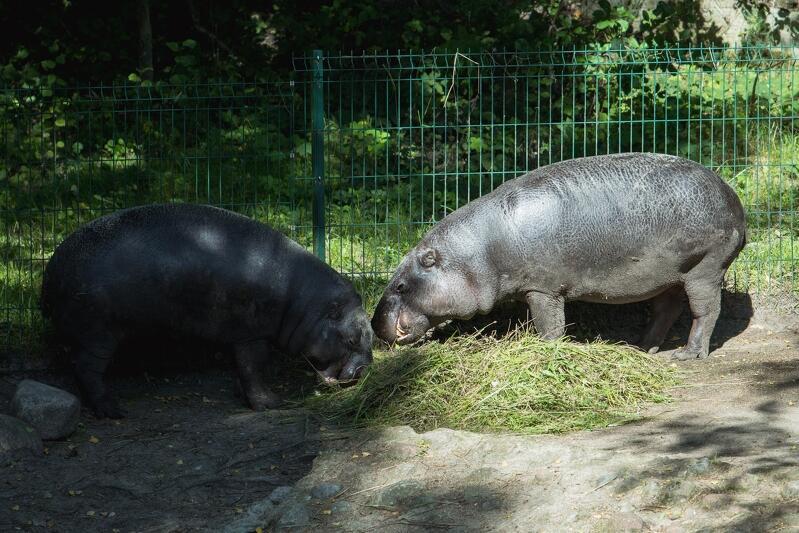 Nz. para hipopotamów karłowatych z gdańskiego zoo