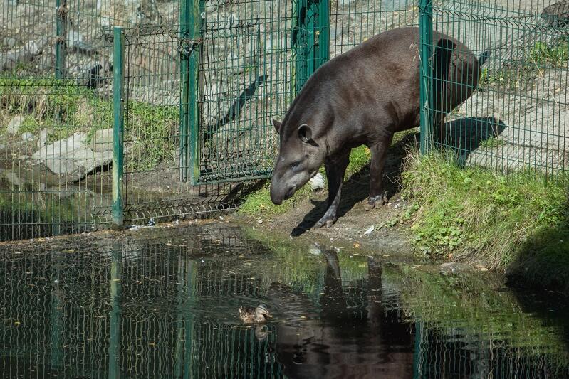 Dzięki nowym planom inwestycyjnym zyskają też tapiry. Teraz sąsiadują z hipopotamami karłowatymi, w następnym roku ich teren powiększy się o ekspozycję hipopotamów