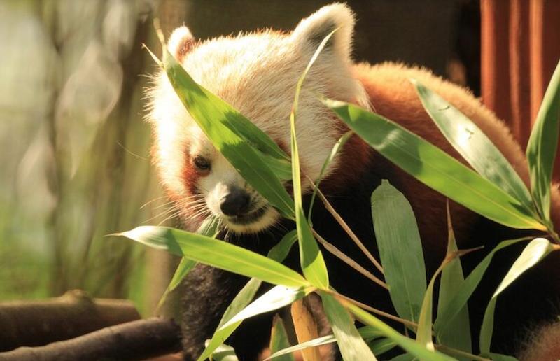 Podstawowym pokarmem pandy małej jest bambus. Zanim w 2016 roku pierwszy przedstawiciel tego gatunku pojawił się gdańskim zoo, zadbano o własną plantację bambusa w Oliwie