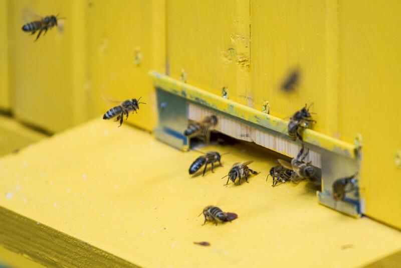 Pszczoły to niezwykle pożyteczne owady, bez których człowiek sobie nie poradzi. Niestety ich życie jest zagrożone. Gatunek przed wyginięciem starają się ochronić różne stowarzyszenia, w tym WAGA z Biskupiej Górki, która zaprasza w sobotę, 26 września na ekologiczny dzień sąsiedzki. Nz. Ule na Politechnice Gdańskiej