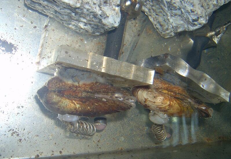 Małże zareagują na każde zanieczyszczenie wody, które jest nietypowe i powoduje ich dyskomfort życiowy