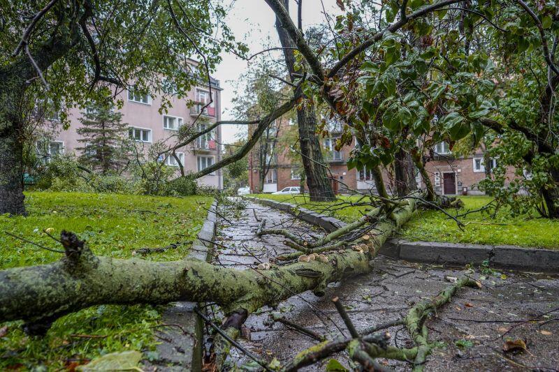 Śródmieście. Powalone drzewo przy ul. Stolarskiej